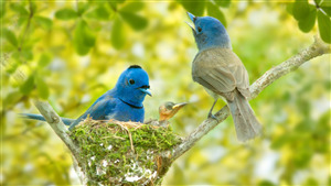 Very Cute Blue Sparrow on Branch