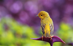 Yellow Sparrow 4K