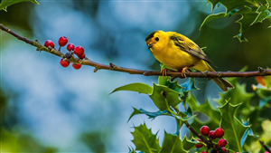 Yellow Sparrow on Branch