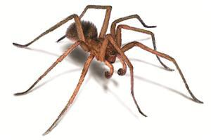 Animal Hobo Spider Pics