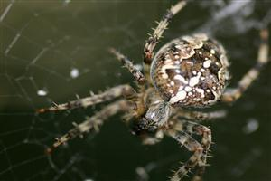 Closeup of Spider