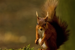 Beautiful Red Squirrel Photo