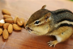 Beautiful Squirrel Eating Almonds HD Wallpapers