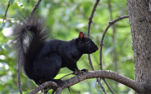 Black Squirrel 5K Wallpaper
