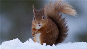 Cute Squirrel in Snow