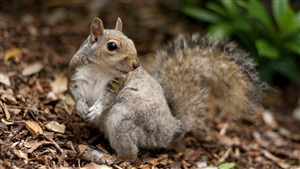 Free Download Wallpaper of Pretty Squirrel