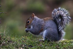 HD Gray Squirrel in Grass Eating