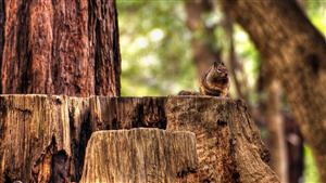 HD Wallpaper of Squirrel