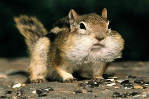 Squirrel With Big Mouth
