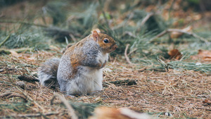 Squirrel in Dry Grass 4K Wallpaper
