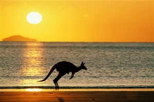 Awesome Scene of Sunset Kangaroo at Beach Australia Country HD Wallpaper