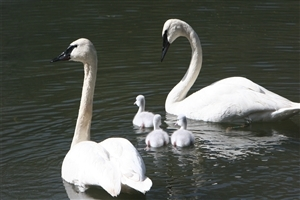 Beautiful 2 Swan with Child in Water Photo