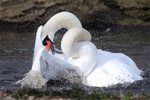 Beautiful Big Swan in Water