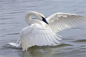 Beautiful Swan Spread Wings in Water