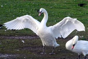 Beautiful Swan Spreads Wings