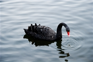 Bird Black Swan Swimming in Water