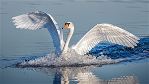 Bird Swan Wallpaper