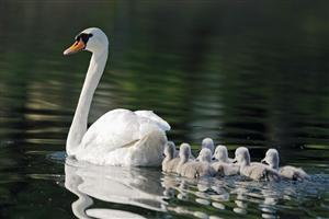 Child Cygnets Follow Swan in Swimming Wallpaper
