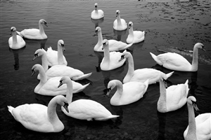 Group of Swan in Lake HD Image