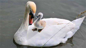 Mother Swan with Her Cute Baby