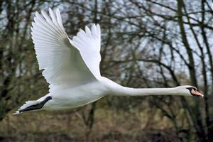 Mute Swan Flying Image
