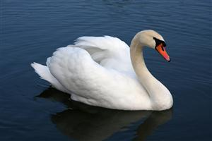 Mute Swan Swimming in Water Image