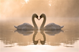 Romantic Swan in Winter Season Pics