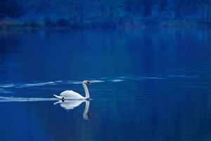 Swan in Blue Lake Photo