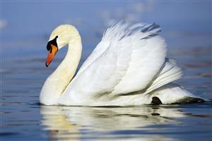 Swimming White Bird Swan Wallpaper