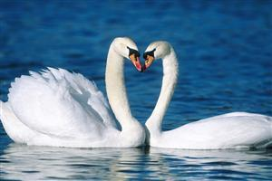 Two Cute White Swan in Water