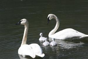 Two Swan with Child Cygents Pics