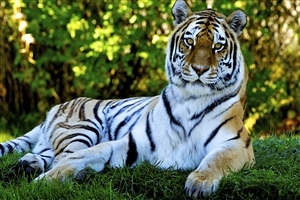 Amazing HD Pic of Tiger