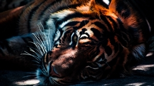 Animal Tiger 3D Wallpaper Background