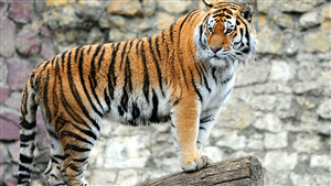 Animal Tiger HD Wallpaper