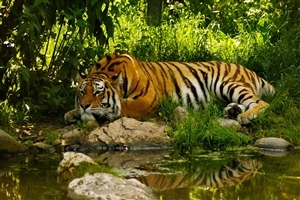 Beautiful Tiger Sleeping in Green Jungle Wallpapers