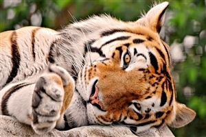 Beautiful Tiger Sleeping in Jungle HD Desktop Background Wallpaper