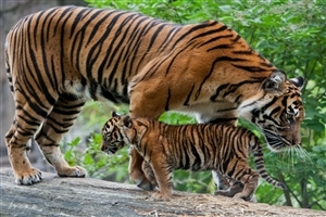 Big Tiger With Her Cute Baby Cub HD Wallpaper