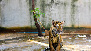 Captivity with Chain Animal Sad Tiger