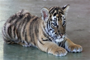 Cute Tiger Cub High Quality Photo