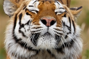 Face of Tiger HD Wallpaper