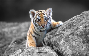 Lovely Tiger Baby