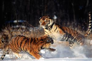 Playing Two Tigers in Snow Pics