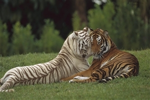 Tiger Couple doing Romance in Jungle Wallpaper