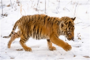 Tiger Cub in Snowy Weather Free Wallpapers