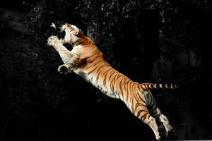 Tiger Jump for Hunting