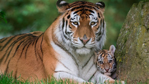 Tiger Mom with His Cute Baby