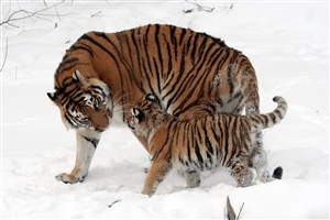 Tiger Playing with Cub in Snowy Weather Photo