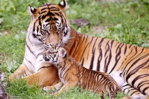 Tiger Seating with Baby Cub Wild Animal HD Wallpapers