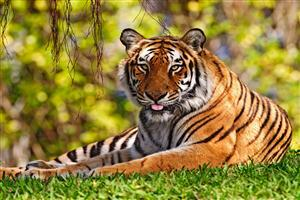 Tiger Sitting on Green Grass