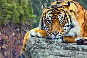 Tiger Wild HD Photography